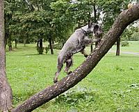 Миттели охотно лазают по деревьям